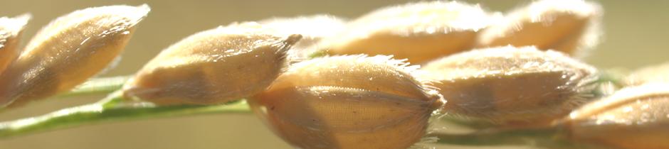 巨大胚芽米カミアカリ