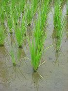其の四 のんきな稲