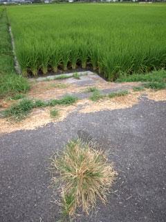 この道路のど真ん中に生きる雑草だって、 彼ならではの生き残るための戦略があるのです。
