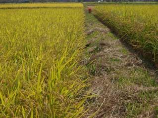 ヒノヒカリである。アンコメ米作りプロジェクトのメイン品種である。早晩性は中生の中、夏の高温に強いことから選んだ。これまでの平均反収は一反7俵弱(400キロ位)である。農薬化学肥料を使うえば、収量はもっと獲れるが、質と食味のバランスを狙うと、あえてこれくらいに抑えて栽培している。アンコメ米作りプロジェクトとして採用した品種としては成功した品種とも言えるが、これで満足してはいない。松下には、いや藤枝の地ではなかなか出せなかった触感をどうしても表現したい。そのための挑戦が「いただき」という品種だった。いつかその