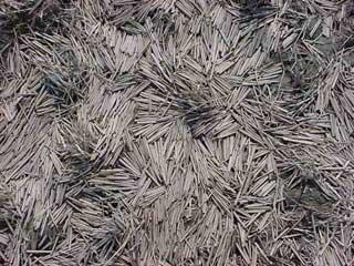 昨年刈り取られた稲の茎が風雨によって流され美しい造形を作り出している様子