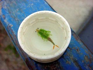 豊年エビ」である。緻密で豊かな生態系を持つ田圃の象徴。豊年満作を予感させてくれる縁起のよい呼び名である。薄墨色の田圃小宇宙の中で見つけた未知の宇宙生命体。左右にある緑色の繊毛運動によってヒラヒラと泳ぎ回る姿はまさに生きるアート。