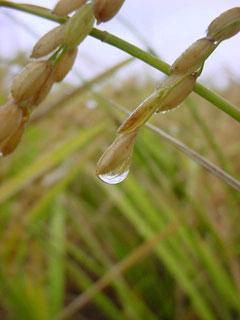 雨に濡れる稲穂である。残念ながら稲刈りは中止となってしまったが雨の田圃の表情は悪くない。雨粒のひとつひとつが稲を育てこうして米が実るのである。両者となりあって作られた美しいフォルムに見入ってしまう。