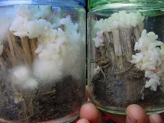 本文で紹介した松下くん実験中のビンである。小生の大学時代の先輩Nさんが88年に行った現代アートのプロジェクトを思い出した。作品の展示会場周辺の雑草を大型バケツに開催期間中ずっと集めていく。集めた雑草はプリンのように会場に伏せた状態で立てていくのである。ご想像どおり雑草は雑草がまとっている菌類や空気中の菌類、はたまた会場在住の菌類によって発酵していくのである。当時は「腐ってるー!」なんて思いながら手伝ったものだけど、これがやりたかったんでね。Nさん!