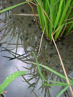 水、H2Oである。この田圃の水は栃山川と呼ばれる大井川から取水される水である。今日の台風のように太平洋上の海水が暖められて生み出された湿った空気が大井川上流の日本アルプスにぶつかり上流に雨を降らせこうして用水路に運ばれこの田圃にやってくるのだ。水はその間に山や森にある様々な栄養分を溶かし込んで田圃に栄養を与えるのである。それは単なるH2Oではなくこの土地にしかないご当地の水なのである。