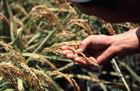 第7回 19年産カミアカリ栽培について。