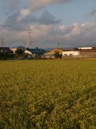 レッツゲット稲刈り。