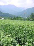 8月25日号 茶畑と田圃とモーターサイクルと。の巻