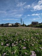 春草、レンゲ。