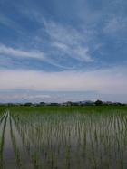 親の都合、稲の生長